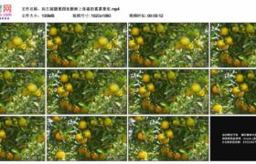 高清实拍视频素材丨向左摇摄果园里橙树上挂着的累累果实
