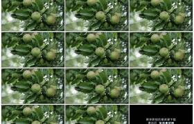 高清实拍视频素材丨苹果树树枝上挂着苹果