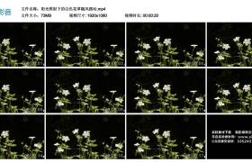 高清实拍视频丨阳光照射下的白色花草随风摆动