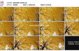 4K实拍视频素材丨摇摄秋天挂满黄叶的树梢