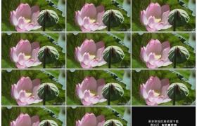 高清实拍视频素材丨荷塘里绿色荷叶、莲蓬及粉色荷花随风摇摆