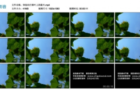 高清实拍视频丨仰拍向日葵叶上的蓝天