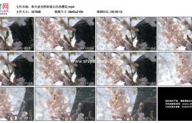 4K实拍视频素材丨春天逆光照射着白色的樱花