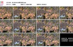 高清实拍视频丨春天春风吹动樱花摇摆
