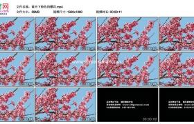 高清实拍视频素材丨蓝天下粉色的樱花