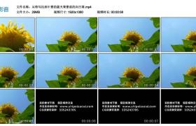 高清实拍视频丨从特写拉到中景的蓝天背景前的向日葵