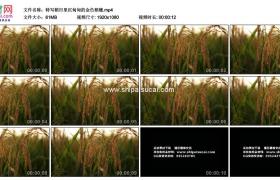 高清实拍视频素材丨特写稻田里沉甸甸的金色稻穗