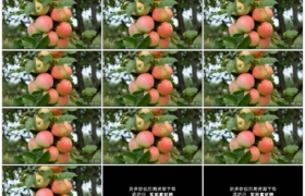 高清实拍视频素材丨特写苹果树枝上挂着累累的果实