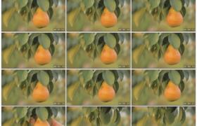4K实拍视频素材丨特写女子摘下树枝上的梨子