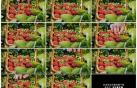 4K实拍视频素材丨特写采摘红色草莓放到篮子里