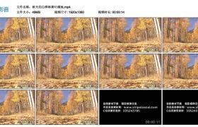高清实拍视频丨秋天的白桦林黄叶满地