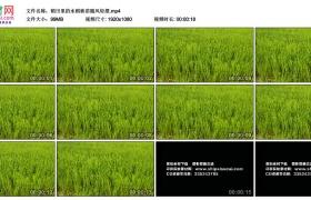 高清实拍视频丨稻田里的水稻秧苗随风轻摆