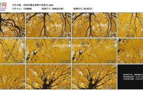 4K实拍视频素材丨仰拍秋天挂满金黄树叶的树木