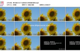 高清实拍视频素材丨晴天蓝色天空下金黄的向日葵花随风摆动
