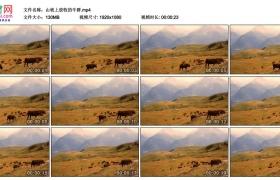 高清实拍视频丨山坡上放牧的牛群