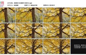 4K实拍视频素材丨摇摄秋天挂满黄叶的树木