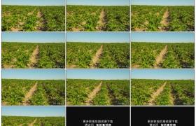 高清实拍视频素材丨阳光下一大片长势良好的土豆地