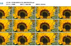 高清实拍视频丨特写随风摇摆的向日葵上蜜蜂采集着花粉