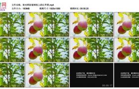高清实拍视频素材丨阳光照射着树枝上的红苹果