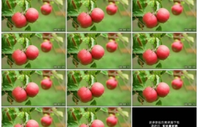 高清实拍视频素材丨苹果树上挂着红色的苹果