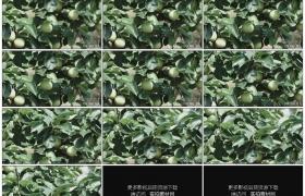 高清实拍视频素材丨果园里苹果树枝上的青苹果