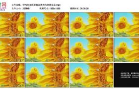 高清实拍视频素材丨特写阳光照射着金黄的向日葵花朵