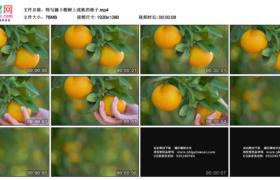 高清实拍视频素材丨特写摘下橙树上成熟的橙子