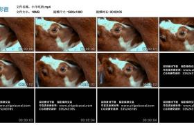 高清实拍视频丨小牛吃奶