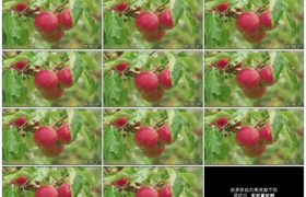 高清实拍视频素材丨特写树枝上挂着红苹果随风摆动
