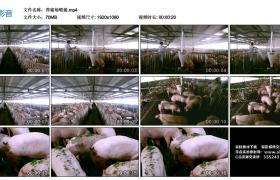 高清实拍视频素材丨养猪场给猪喂食