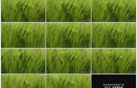 高清实拍视频素材丨特写麦田里青色的麦穗和麦芒