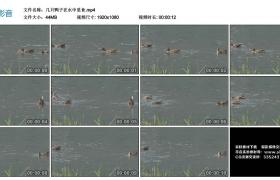 高清实拍视频丨几只鸭子在水中觅食