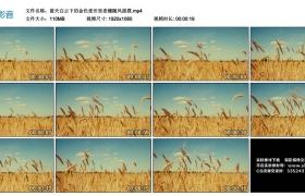 高清实拍视频丨蓝天白云下的金色麦田里麦穗随风摇摆
