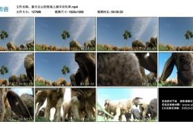 高清实拍视频丨蓝天白云的牧场上绵羊在吃草