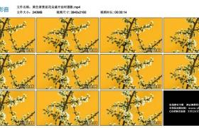 4K视频丨黄色背景前花朵盛开延时摄影