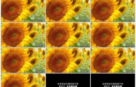 高清实拍视频素材丨向日葵田里向日葵花盘上一只蜜蜂采集花粉
