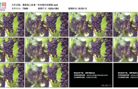 高清实拍视频丨葡萄架上挂着一串串紫色的葡萄