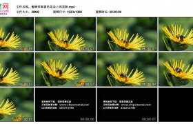 高清实拍视频素材丨蜜蜂采集黄色花朵上的花粉