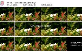 4K实拍视频素材丨一朵挂着水滴的白色花朵随风摇摆