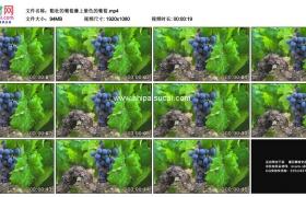 高清实拍视频素材丨粗壮的葡萄藤上紫色的葡萄