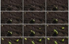 高清实拍视频素材丨特写植物发芽从土壤里长出嫩芽延时摄影