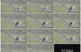高清实拍视频素材丨树枝上两只喜鹊相濡以沫