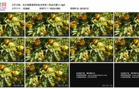 高清实拍视频素材丨向右摇摄果园里阳光照射下的金色橙子