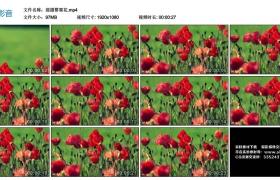 高清实拍视频素材丨摇摄罂粟花
