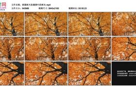4K实拍视频素材丨移摄秋天挂满黄叶的树木