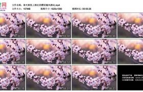 高清实拍视频素材丨春天树枝上粉红的樱花随风摆动