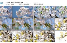 高清实拍视频丨春天挂在枝头的樱花