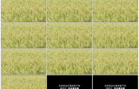 高清实拍视频素材丨麦田里麦穗随风翻起麦浪