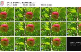 高清实拍视频素材丨特写苹果树上一颗红苹果随风摆动