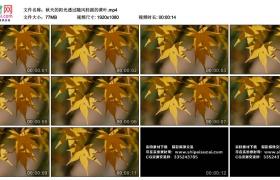 高清实拍视频丨秋天的阳光透过随风轻摇的黄叶